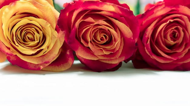 Três rosas vermelhas e amarelas sobre um fundo claro de madeira com espaço de cópia. layout para design