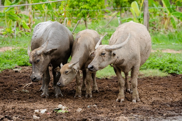Três tailandeses buffalo ficar na lama