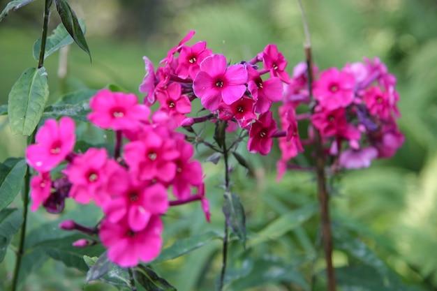 Três talos e muitas flores pequenas de cor fúcsia. concentre-se no centro. fundo verde desfocado.