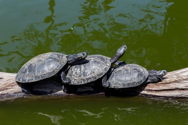 Três tartarugas no tronco de madeira