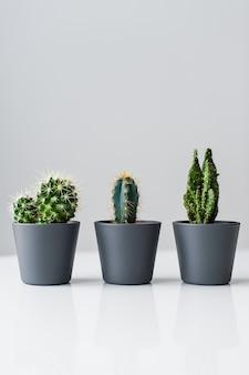 Três tipos de cactos verdes sobre um fundo cinza. suculenta de plantas domésticas