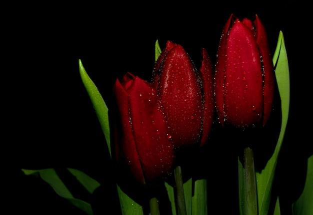 Três tulipas vermelhas em um fundo preto