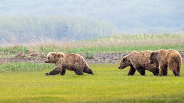 Três ursos pardos da península do alasca ou juvenis de ursos pardos costeiros brincando