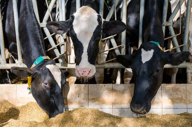 Três vacas comendo feno em um estábulo na fazenda de gado leiteiro