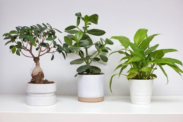 Três vasos de cerâmica branca perto de uma parede branca com planta de casa verde moderna design retro, planta de estilo escandinavo