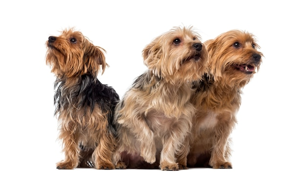 Três yorkshire terriers sentados e olhando para cima