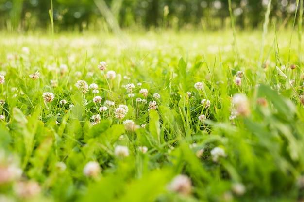 Trevo branco na grama verde, verão fresco ou fundo de primavera