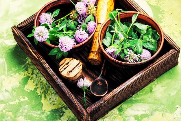 Trevo de plantas curativas