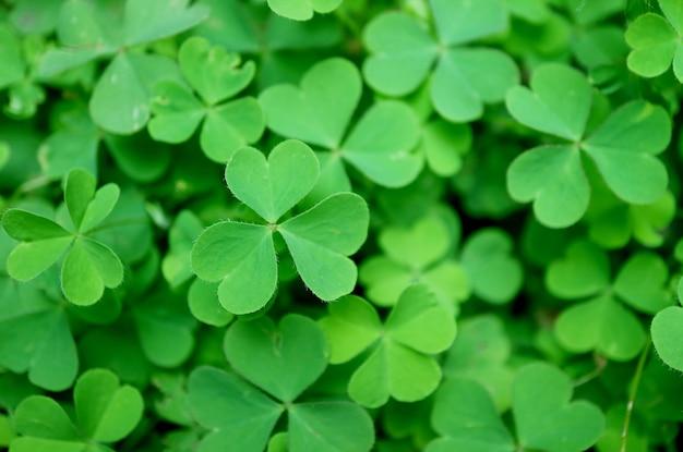 Trevo irlandês verde ou os trevos de três folhas no campo para o fundo