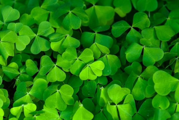 Trevo verde folhas fundo, planta azeda de madeira na floresta de primavera