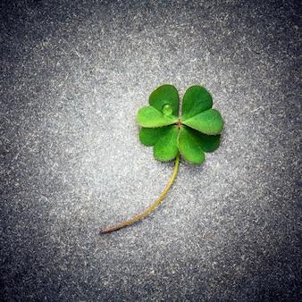 Trevos folhas na pedra daek.