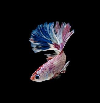 Tricolor de peixes de combate siameses azuis e vermelhos da meia-lua brancos isolados no fundo preto