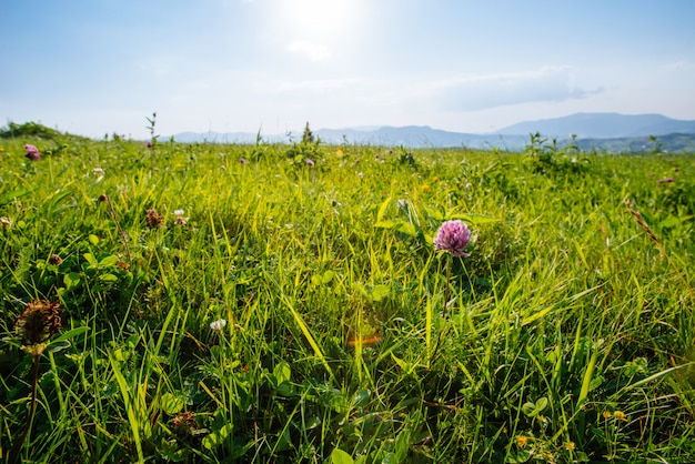 Trifolium pratense vermelho