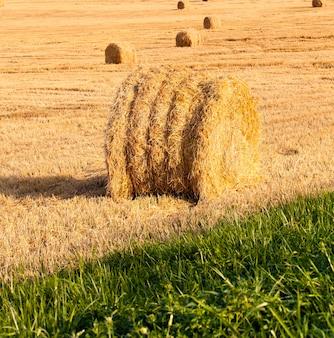 Trigo coletado colocado em uma pilha. empresa de colheita de cereais