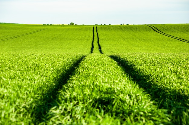 Trigo de agricultura de campo verde no verão