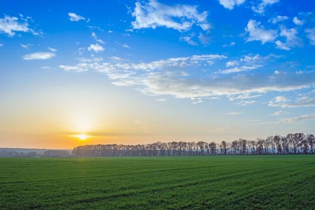 Trigo de inverno com gotas de orvalho no final do outono ao pôr do sol