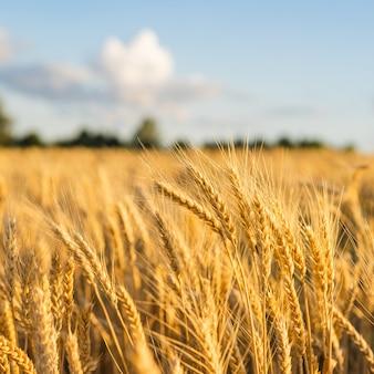 Trigo de ouro das orelhas do campo de trigo. conceito de colheita rica.