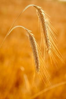 Trigo dourado dois picos de cereais maduros