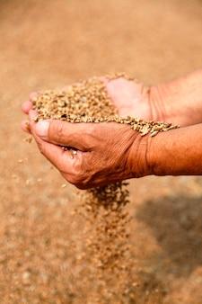 Trigo e mãos do velho agricultor