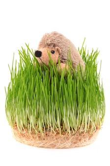 Trigo germinado e ouriço de brinquedo