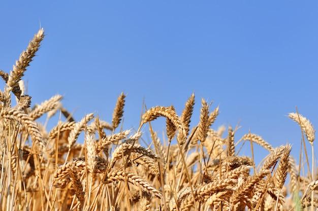 Trigo maduro no campo