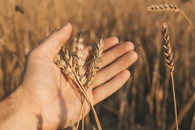 Trigo nas mãos espigas de trigo douradas em uma mão de fazendeiro em um campo de verão durante o pôr do sol
