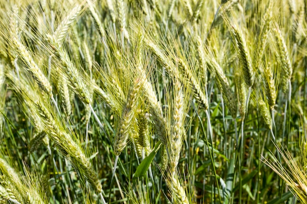 Trigo ou centeio em um jovem campo agrícola na primavera, as plantas são verdes e não maduras, tempo ensolarado