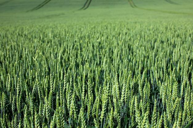 Trigo verde cresce em um grande campo
