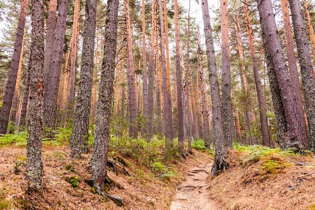 Trilha através de uma floresta de coníferas altas, ideal para caminhar no outono e relaxar na natureza.