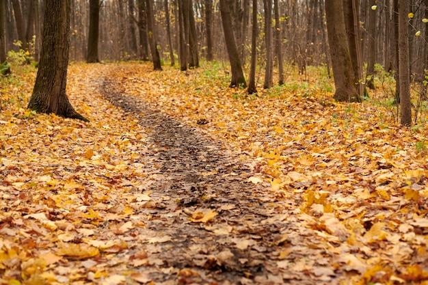 Trilha da floresta de outono com folhas caídas. lindo beco de bétula. tempo calmo. ninguém. tempo de mudança de temporada.