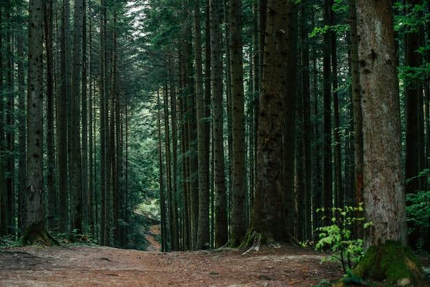 Trilha da floresta. pode ser usado como pano de fundo