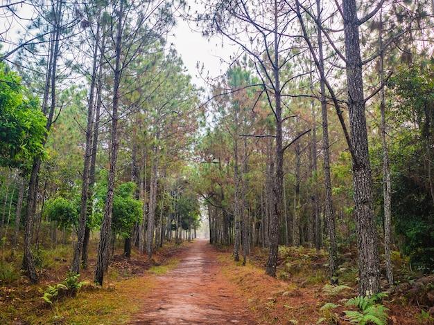 Trilha da natureza pela manhã no parque nacional da montanha phu kradueng, na cidade de loei, tailândia. phu kradueng