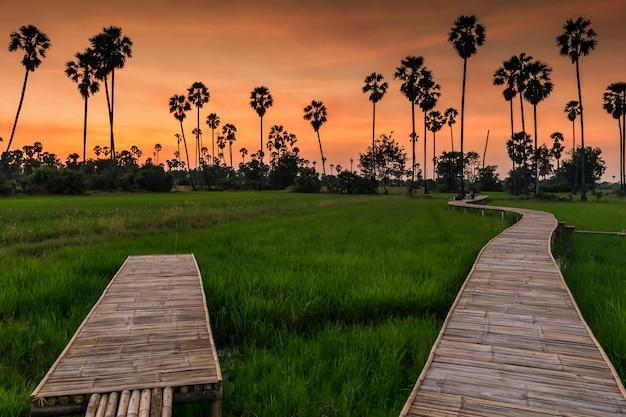 Trilha de caminhada de bambu em um campo de arroz em casca e silhueta de palmeiras na paisagem do pôr do sol