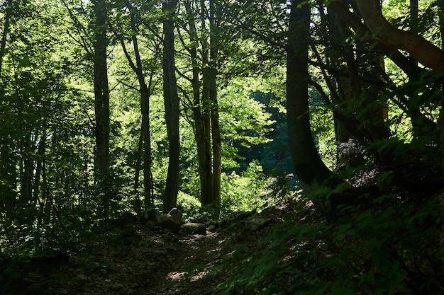 Trilha em um antigo bosque de faias na encosta de uma montanha