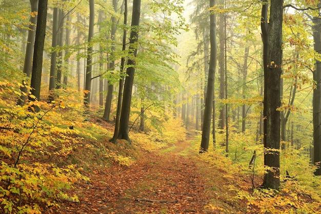 Trilha entre árvores de faia em uma floresta de outono com tempo nublado