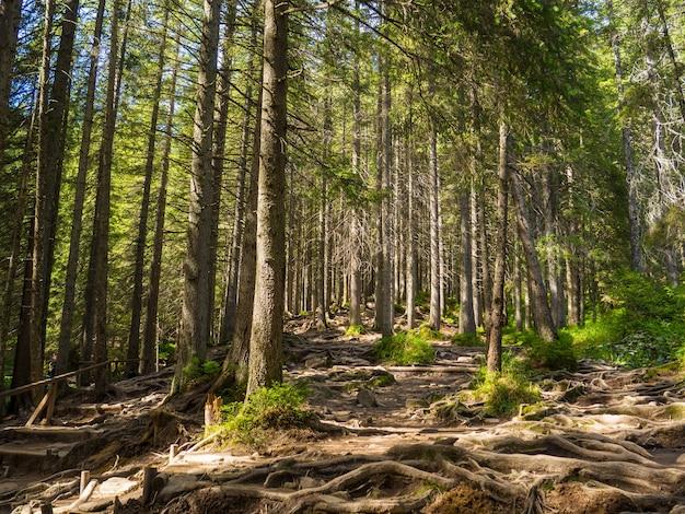Trilha panorâmica cheia de raízes no meio de uma floresta de coníferas de madeira