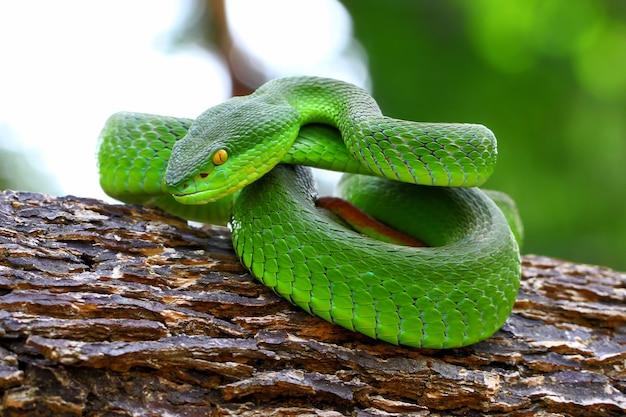Trimeresurus albolabris, cobras da ilha de lábios brancos, fauna, cobras verdes da víbora