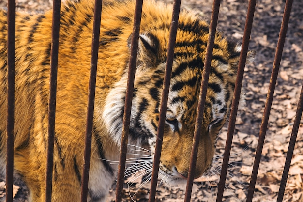 Triste tigre siberiano (amur) atrás de gaiola enferrujada no parque safari