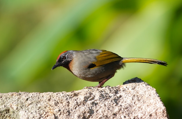 Trochalopteron melanostigma laughingthrush de orelha prateada belos pássaros da tailândia