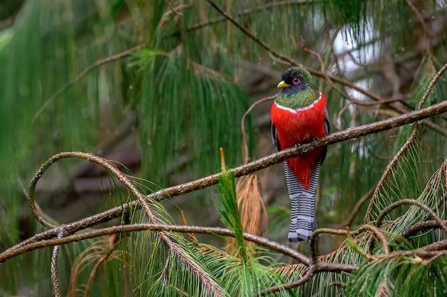 Trogon lindo e colorido empoleirado em um pinheiro