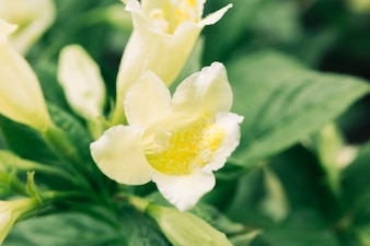 Trompete dourado fresco, florescendo no jardim