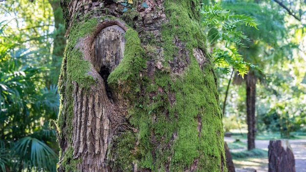 Tronco de árvore coberto de musgo na floresta em arboretum of sukhum, abkhazia.