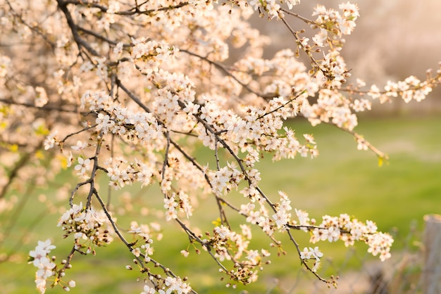 Tronco de árvore de ameixa florescendo com flores na primavera.