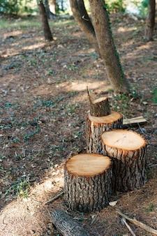 Tronco de árvore serrado, a madeira cinza foi cortada em tocos na lenha da floresta dos pinheiros serrados