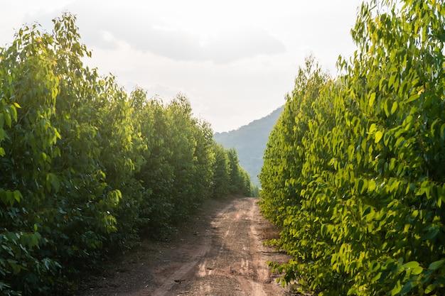 Tronco de árvores de goma ou eucaliptos das encostas montanhosas do leste prachin buri