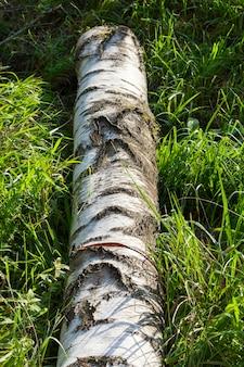 Tronco de bétula, deitado na grama verde da floresta