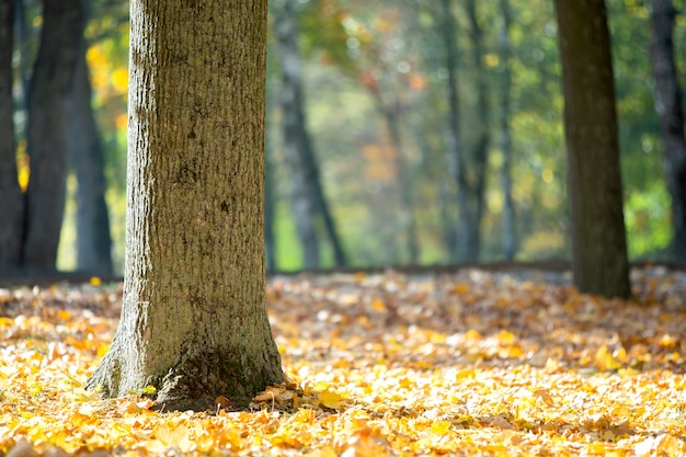 Tronco de madeira de uma árvore grande com folhas amarelas caídas no parque outono.