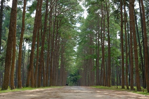 Tronco de pinheiro na floresta de coníferas