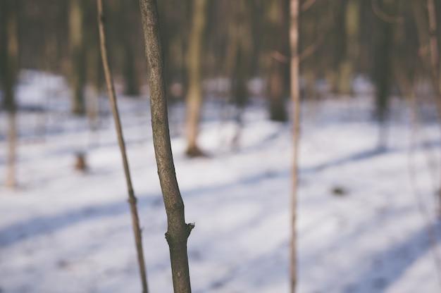 Tronco de uma árvore jovem na floresta durante o inverno