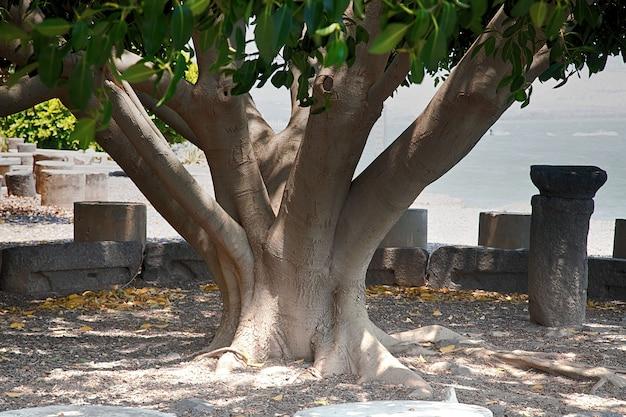 Tronco de uma enorme árvore que cresce no parque